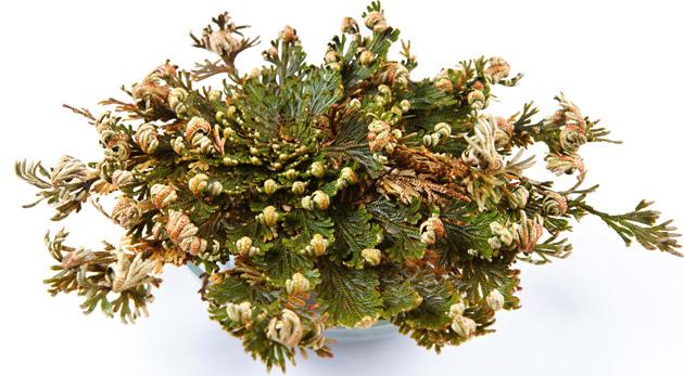Výnimočná rastlina - Ruža z Jericha