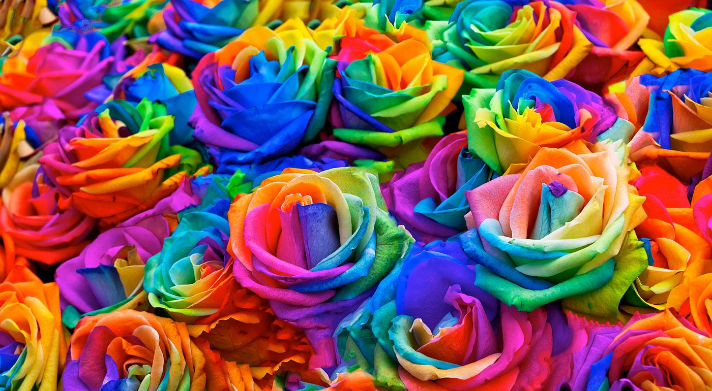 Semienka čarovne krásnych dúhových ruží na pestovanie doma či vonku