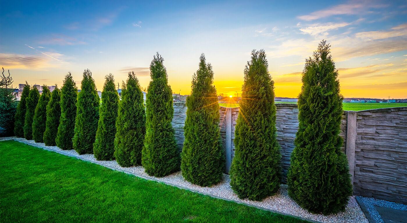 Tuja smaragdová alebo krušpán vždyzelený - perfektné rýchlorastúce stromčeky do každej záhrady
