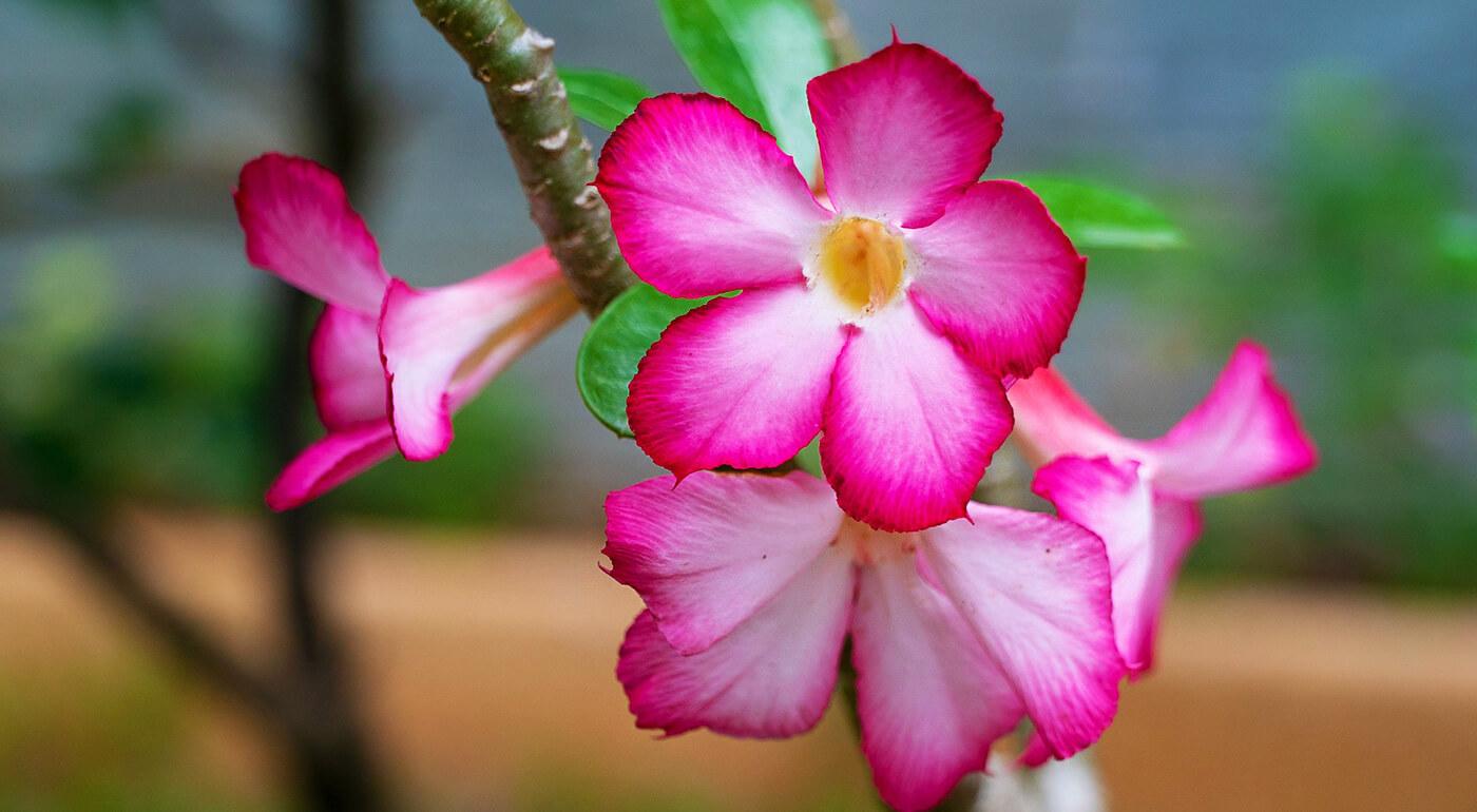 Rastliny púštna ruža alebo perzský hodvábny strom - nádherný kúsok exotiky u vás doma