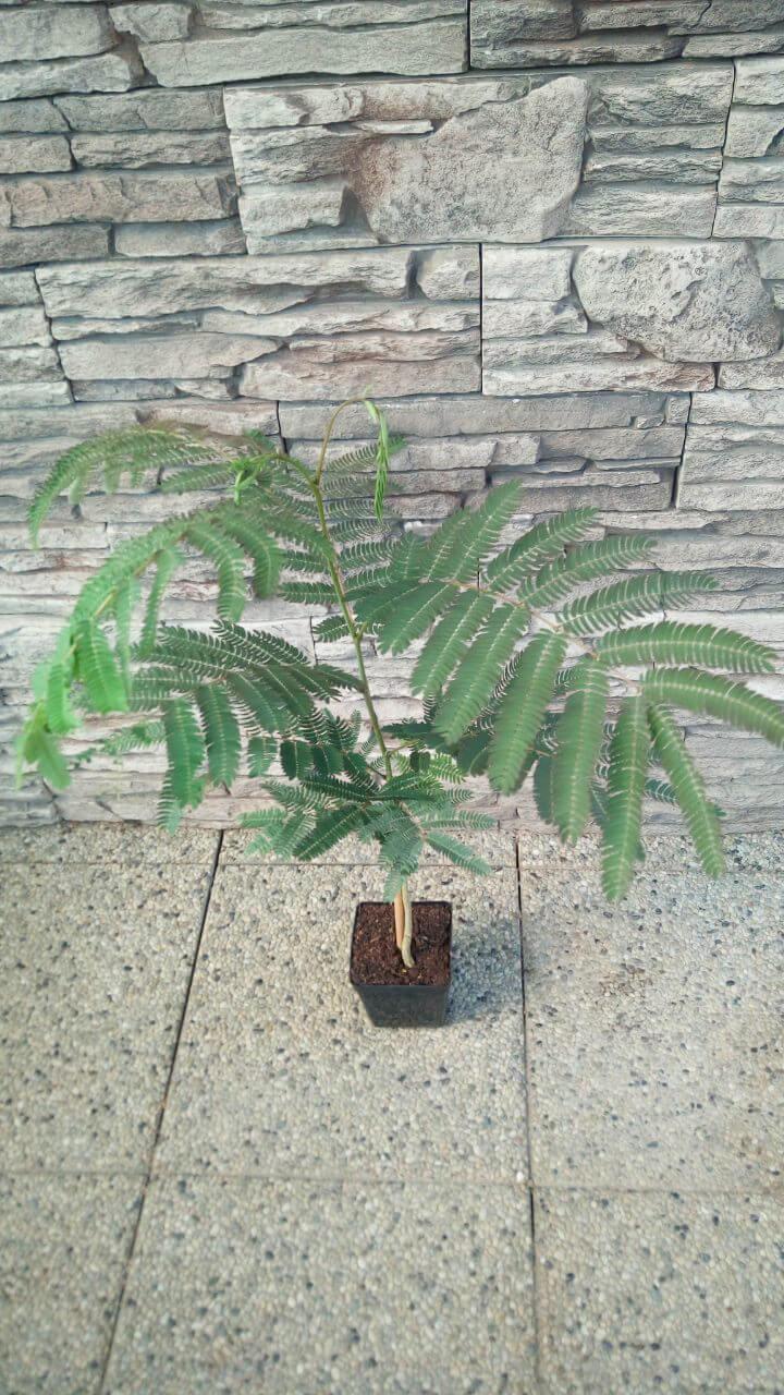 Perzský hodvábny strom (Albizia julibrissin) - mladá rastlinka (veľkosť cca 25-30 cm)