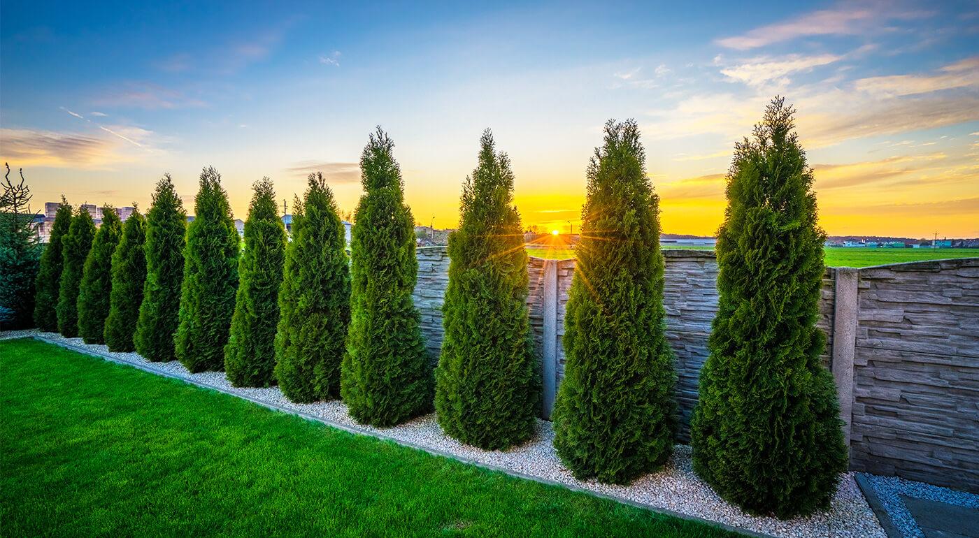 Skrášlite si vašu záhradu nenáročnou tujou smaragdovou. Radosť vám bude robiť svojím rastom až 50 cm za rok aj vždy veľmi hustým a tmavozeleným ihličím. Skvele ju doplní aj krušpán vždyzelený.