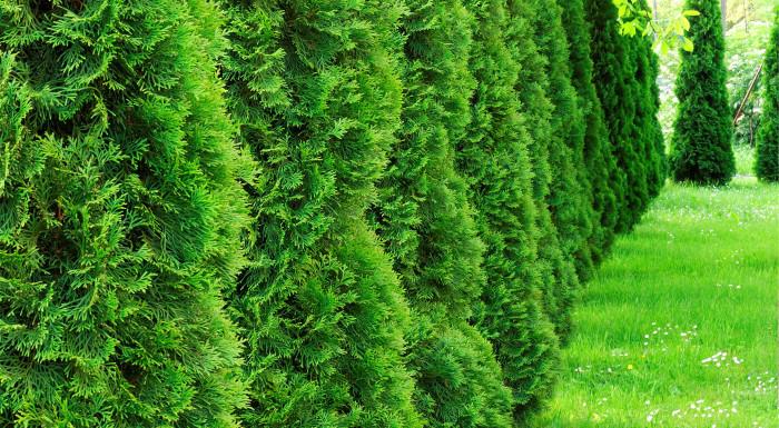 Tuja alebo krušpán do každej záhrady