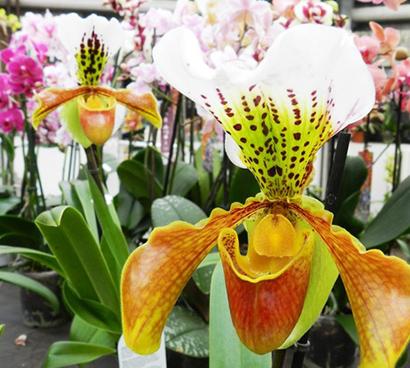klosterneuburg vystava orchidei