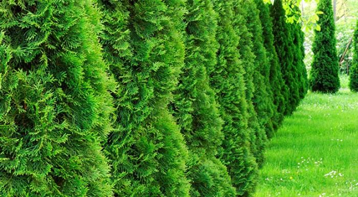Tuja smaragdová do vašej záhradky