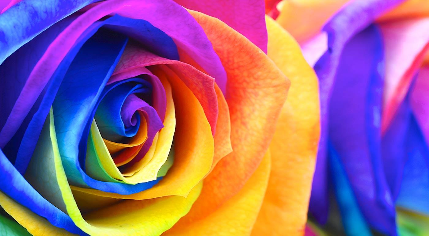 Semienka dúhových ruží na domáce i vonkajšie pestovanie